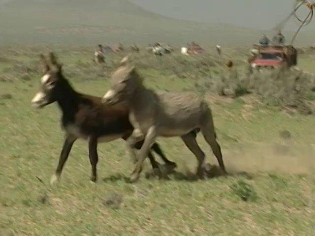 En Carrizal Bajo, Región de Atacama, se realiza un tradicional rodeo de burros.