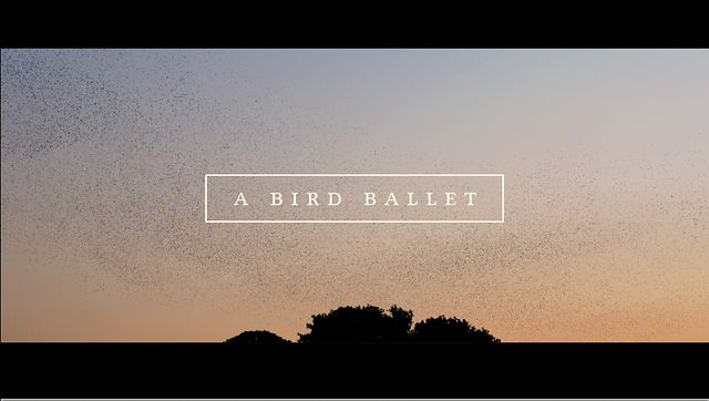 "Bird Ballet – Amazing Footage of Thousands of Birds ""Dancing"" in the Sky"