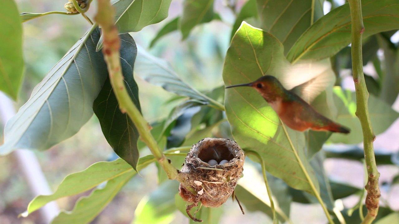 Backyard Hummingbird Nest On Vimeo