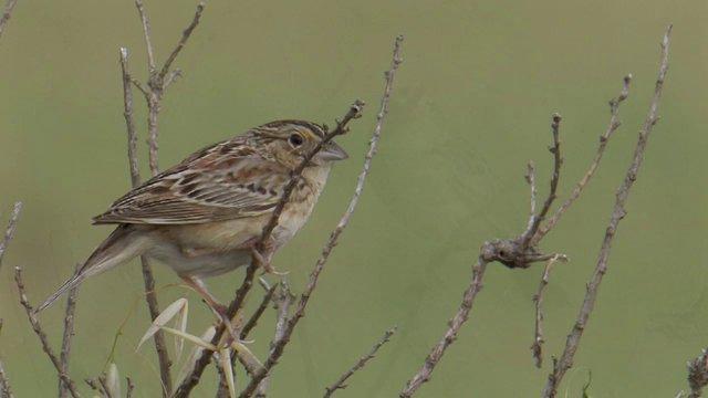 Grasshopper Sparrow   (Ammodramus savannarum  ssp. perpallidus)