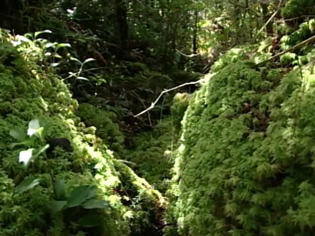 El Sphagnum Moss o Pon Pon, es un recurso natural que podemos encontrar en el sur de Chile donde este musgo es cosechado y utilizado como sustrato para la crianza de plantas ornamentales y extracción de otros productos.
