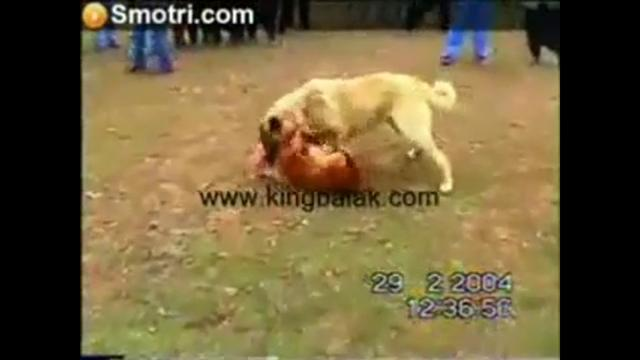 kangal vs ours - PicArena Image Match - kangal pictures, ours pictures
