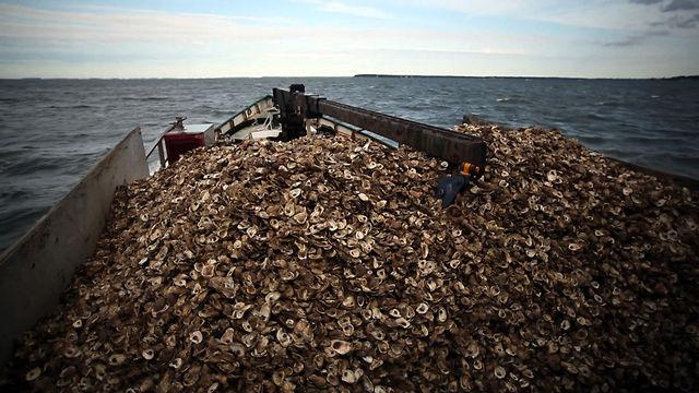 From the Field: Rebuilding oyster reefs in Harris Creek, Md.