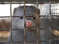 Adelanto investigación granjas de visones en España Igualdad Animal