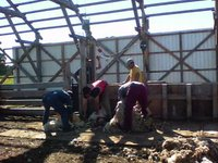 sheep shearing in Chile