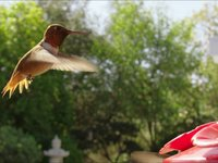 Kolibri filmad i slow motion