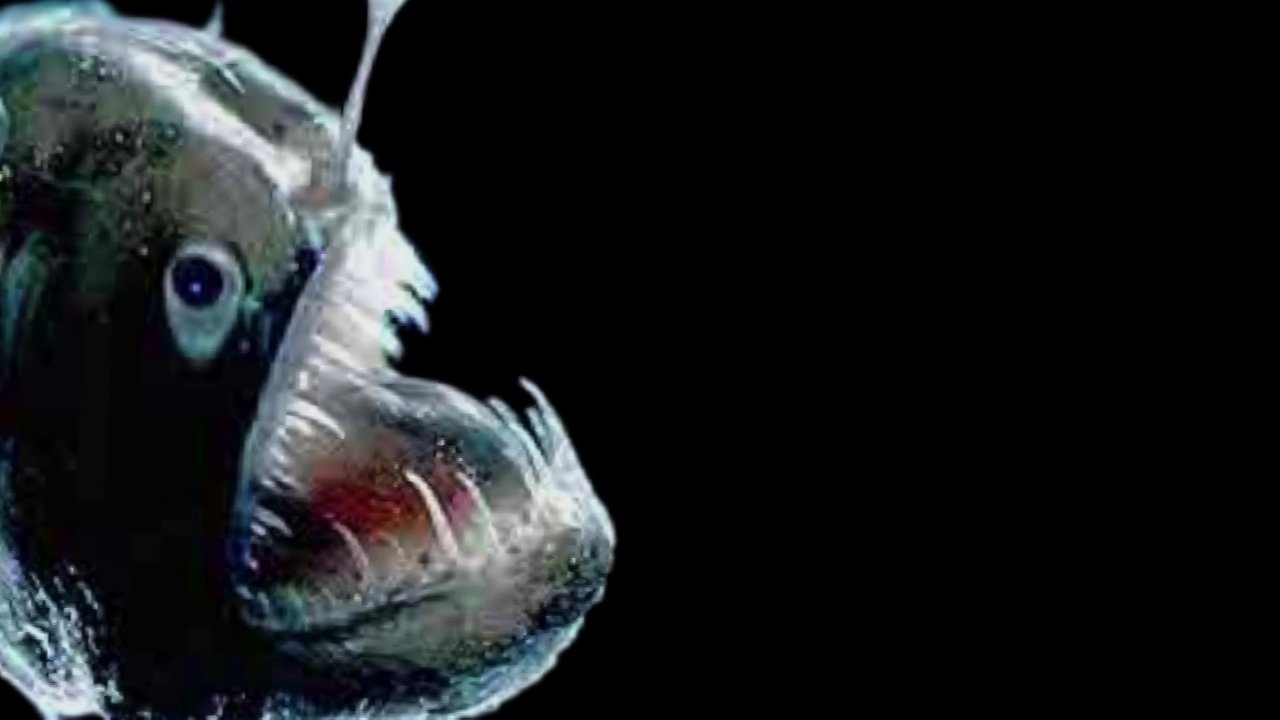 Angler fish mate on vimeo for What is an angler fish