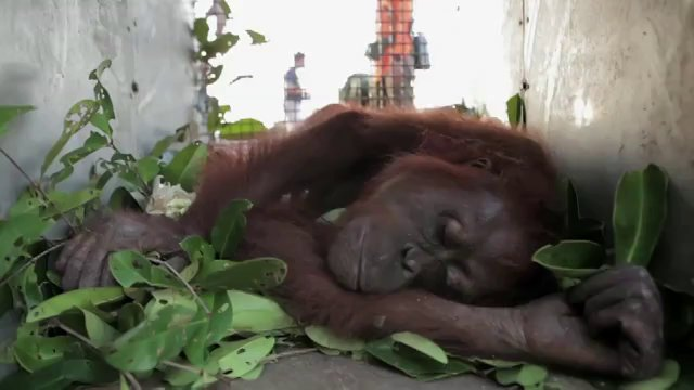 Indonesia: Rescue of starving orangutans highlights conservation plight