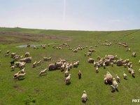 Păstoritul oilor cu drona