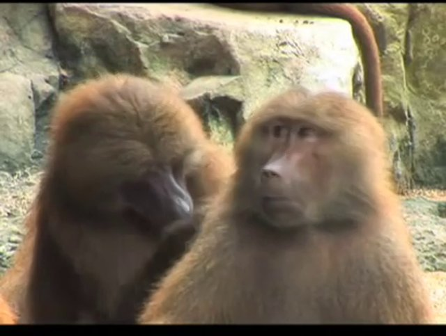 "Starlight Theatre ""Baboons"" Commercial"