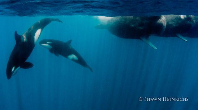 Orcas vs. Sperm Whales
