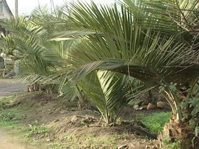 En San Vicente de Tagua Tagua encontramos un vivero de Palma Chilena Jubaea Chilensis  donde aprendimos a cultivarla.
