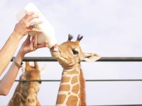 Twin Reticulated Giraffes Born