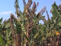 Leaf spot diseases of banana