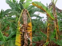 Fusarium wilt of banana