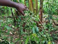 Banana-coffee intercropping