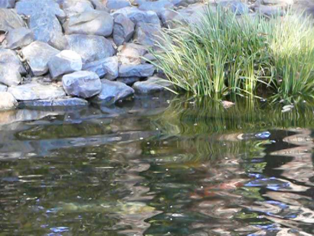Coy pond with a jumping coy fish on vimeo for Coy ponds pictures