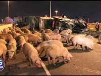 Tractor trailer full of pigs wrecks on the highway
