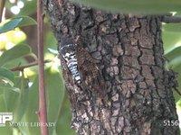 アブラゼミ カキの木で鳴く