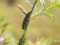 ナナホシテントウ 4齢幼虫 アブラムシを食べる 4月29日