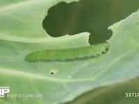 モンシロチョウ 5齢幼虫 キャベツを食べる 5月7日