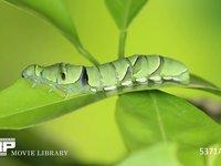 アゲハ 5齢幼虫 ミカンの葉を食べる 5月29日