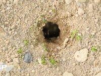 クロヤマアリ 石を運び出す 6月8日