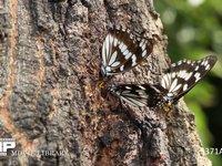 ゴマダラチョウ、クヌギで樹液を吸う 7月30日