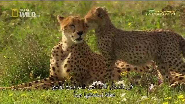 Nat Geo Wild HD  Cheetah Fatal Instinct