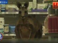 Kangaroo inside