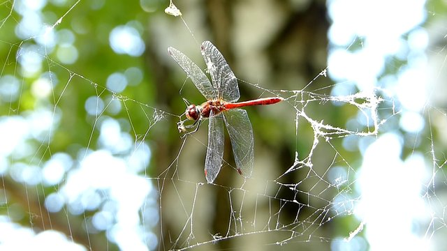 Dragonfly caught in spider web (60fps) - Free HD stock footage