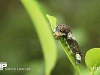 アゲハチョウ4齢幼虫 ミカンの葉を食べる