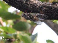 クマゼミ 柿の木で鳴く クマゼミ