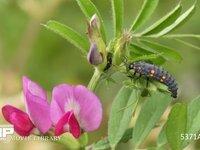 ナナホシテントウ4齢幼虫、アブラムシを食べる