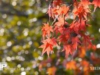 紅葉 風に揺れる色付いたもみじの葉っぱ