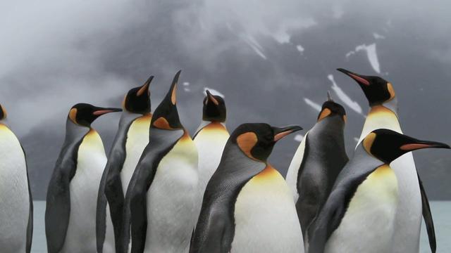 Kings of Kool: King Penguins of South Georgia 2010