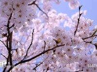 桜(ソメイヨシノ) ドリー撮影 電動ドリーによるスムーズな横移動 60fps サンプル動画は30fps