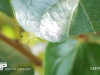 イラガの幼虫 微速度撮影 柿の葉を食べるイラガの幼虫