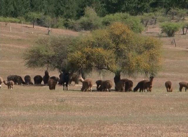 Hace más de ocho años se instaló un proyecto espectacular de reintroducción de Alpacas en el Secano Costero de la VI Región.