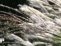 秋のススキの花 繊細で情緒 イネ科ススキ属 尾花 秋の七草のひとつ