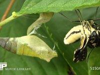 ナミアゲハの成虫が蛹から羽化するまで 微速度撮影 美しい生態と生命力 夏の昆虫のアゲハの羽化を微速度撮影(3倍速) 背景は桜
