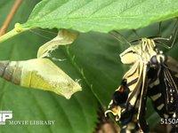 ナミアゲハの成虫の羽化 美しい生態と生命力 夏の昆虫のアゲハが桜の木で羽を乾かす様子を撮影