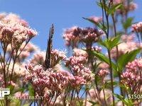アサギマダラとフジバカマ 秋の七草キク科フジバカマの蜜を吸う長距離を移動する蝶