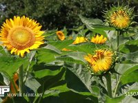 向日葵 元気よく力強くたくましく咲く太陽の花 盛夏に個々に開花する夏の花