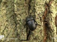 樹木にとまるコクワガタ 夏の昆虫