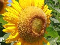 向日葵 元気よく力強くたくましく咲く太陽の花 盛夏に開花した夏の花