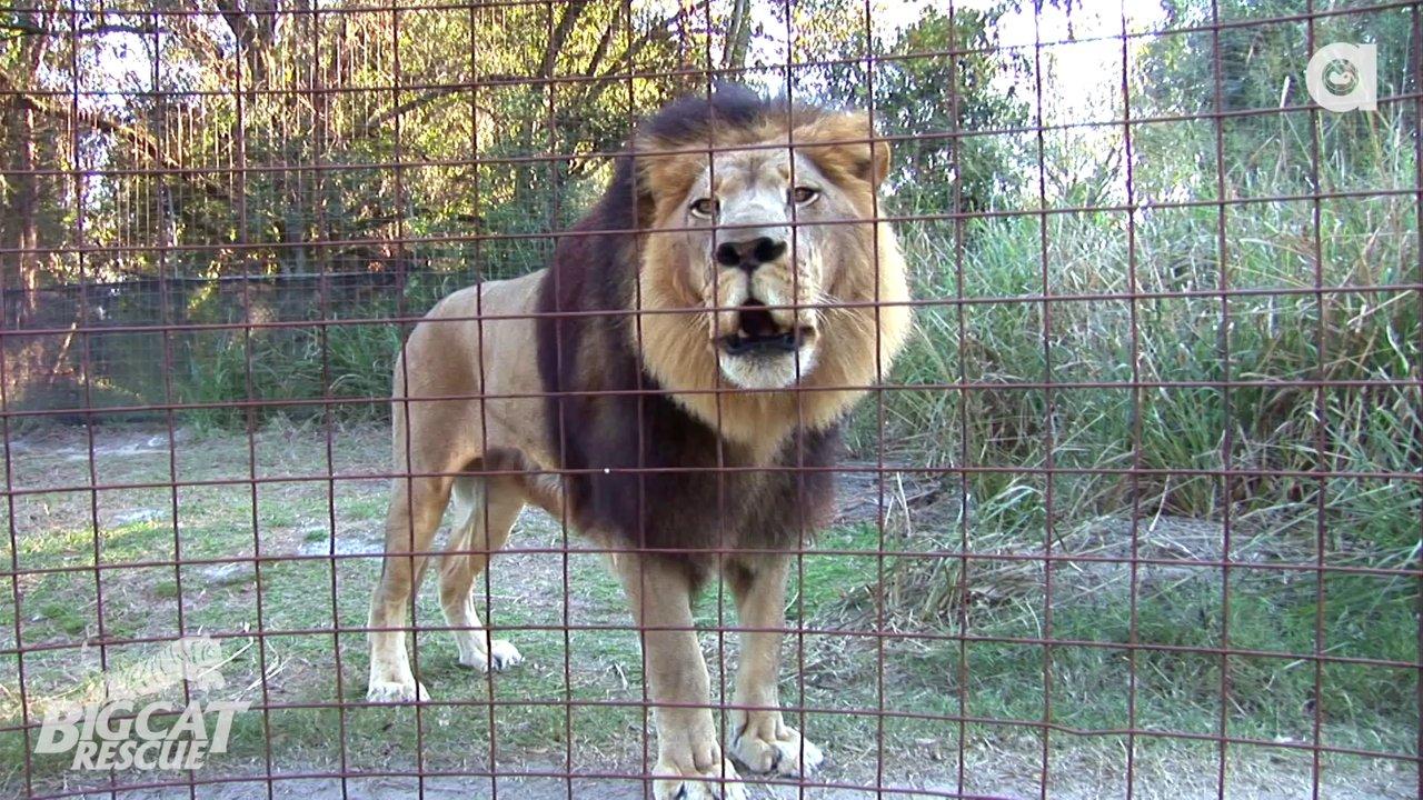 Lion Big Cat Rescue