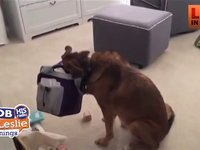 German Shepherd gets Caught Steag Cheerios From a Lunch Box