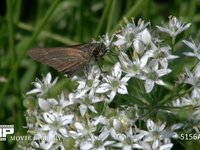 イチモンジセセリ ニラの花にとまり蜜を吸う