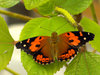 Researchers need help saving the Kamehameha butterfly